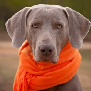 Dieses Bild zeigt einen Weimaraner-Kurzhaar mit neon-orangem Schal und leidendem Blick